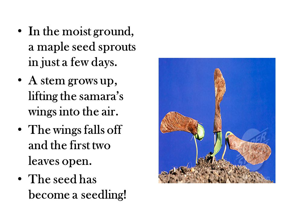 In the moist ground, a maple seed sprouts in just a few days.