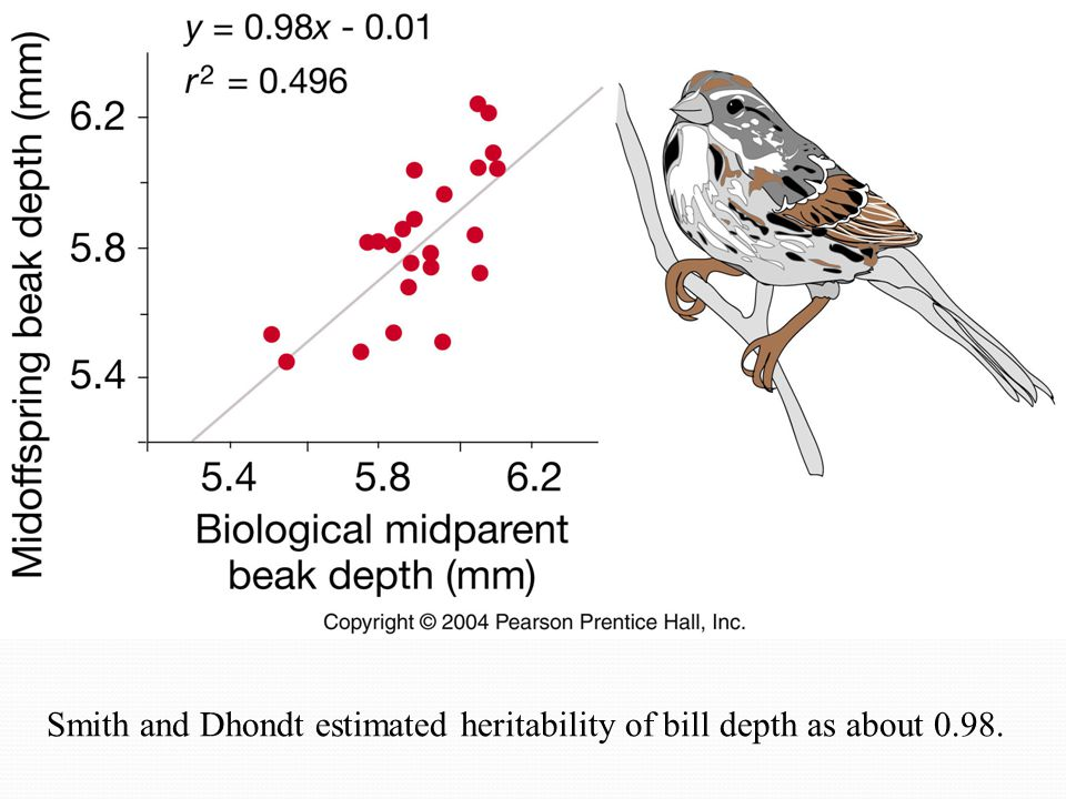 Smith and Dhondt estimated heritability of bill depth as about 0.98.