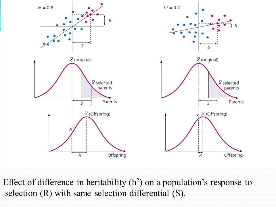 Effect of difference in heritability (h2) on a population's response to