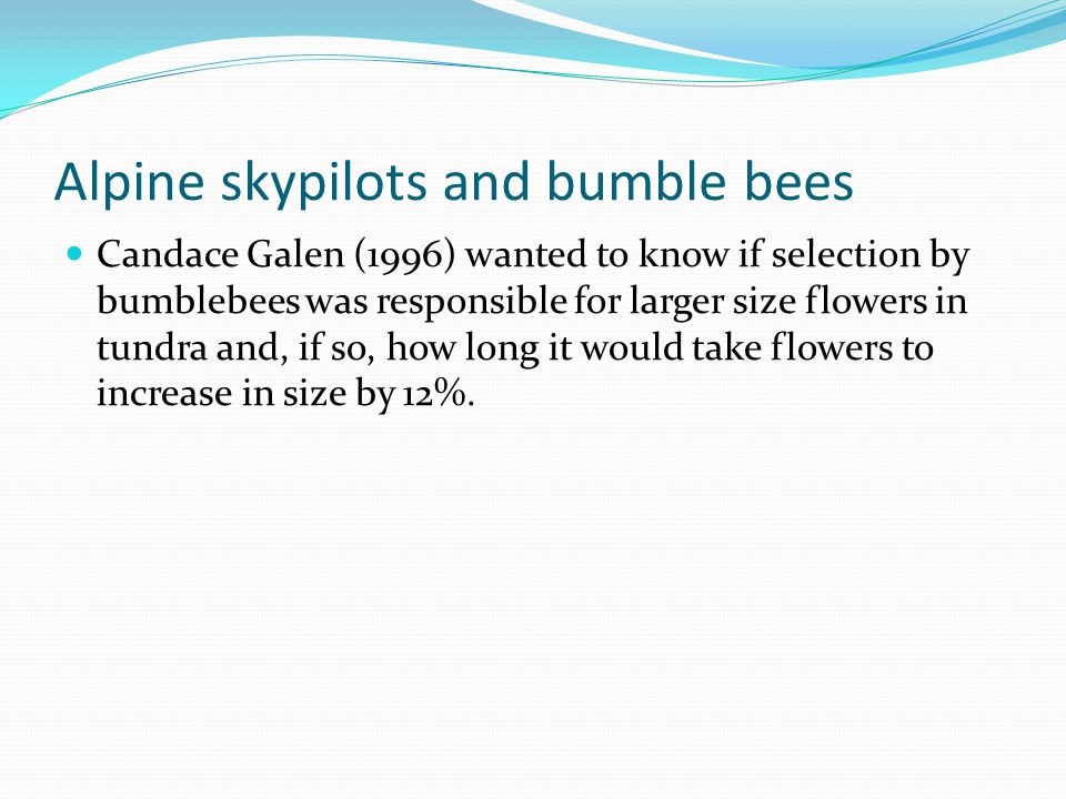 Alpine skypilots and bumble bees