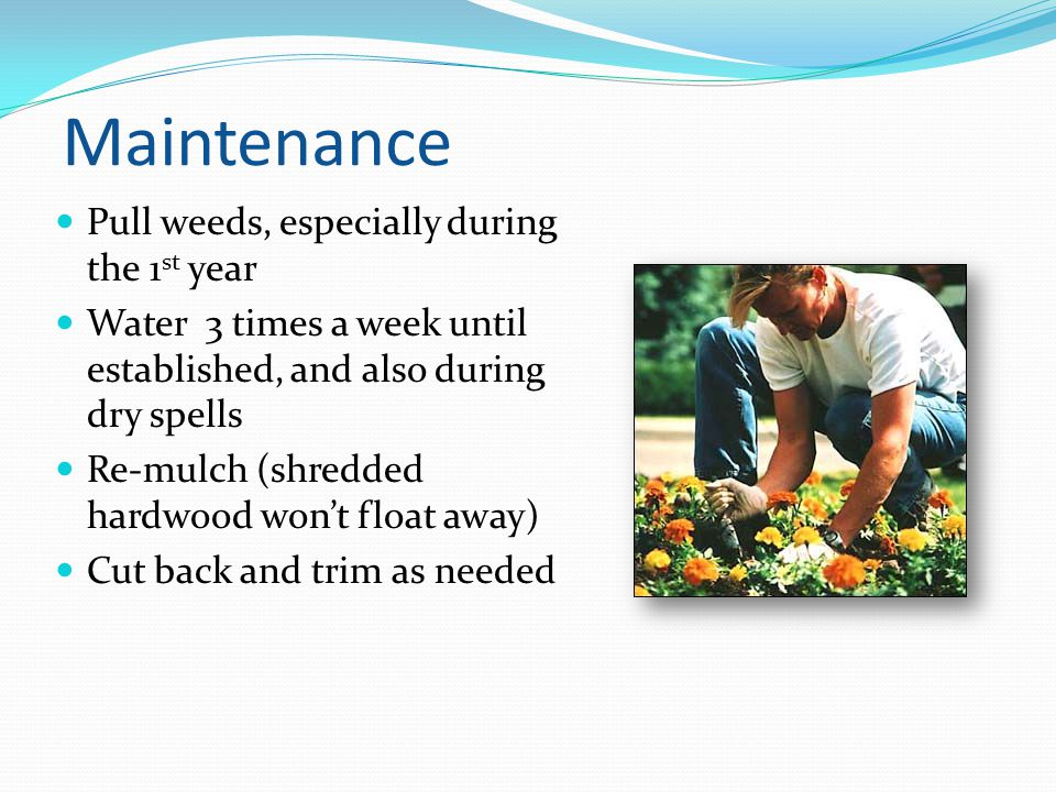 Maintenance Pull weeds, especially during the 1st year