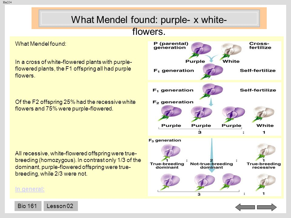 What Mendel found: purple- x white-flowers.