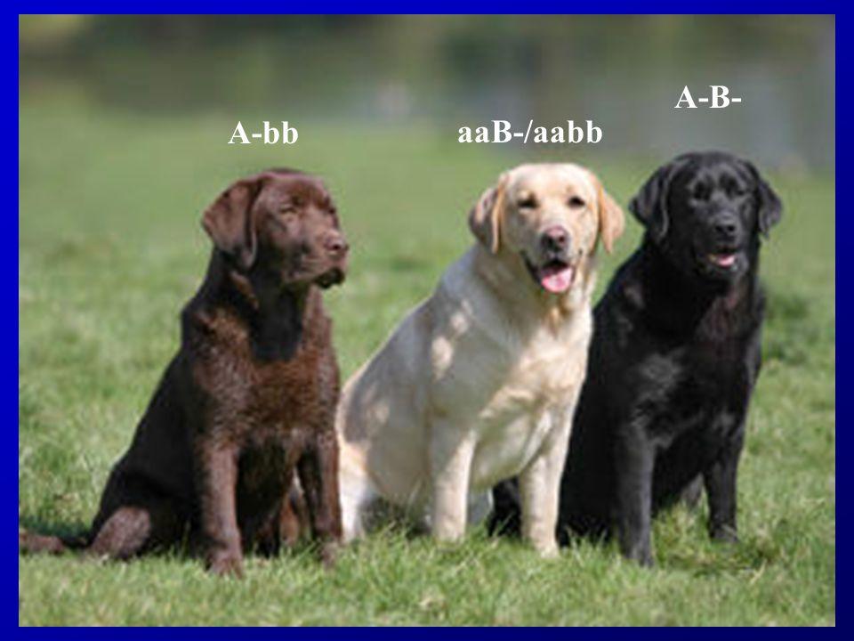 A-B- A-bb aaB-/aabb