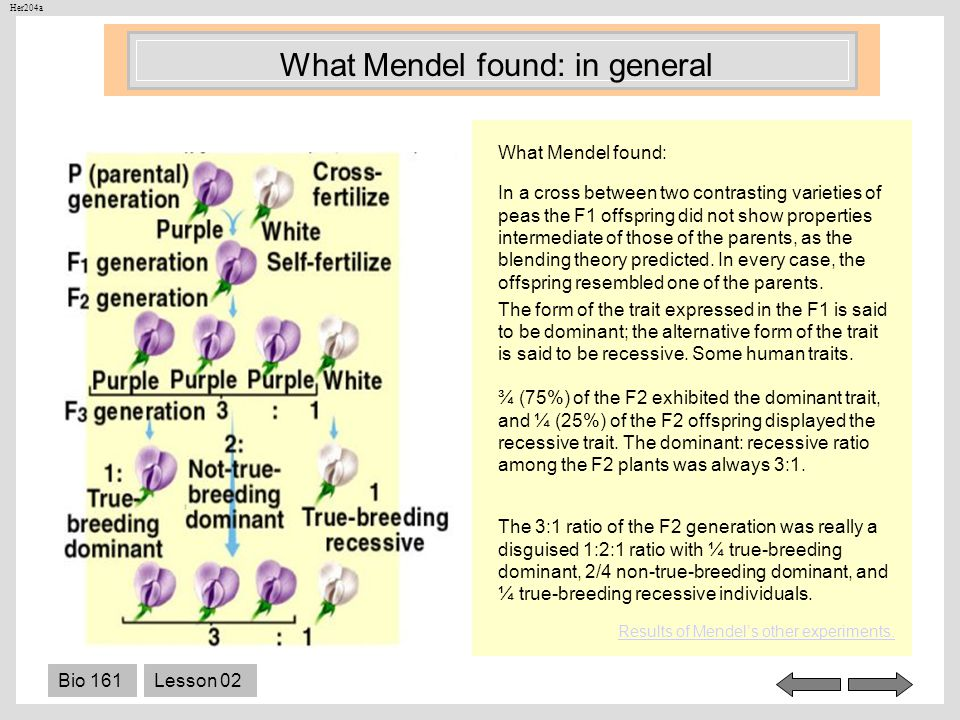 What Mendel found: in general