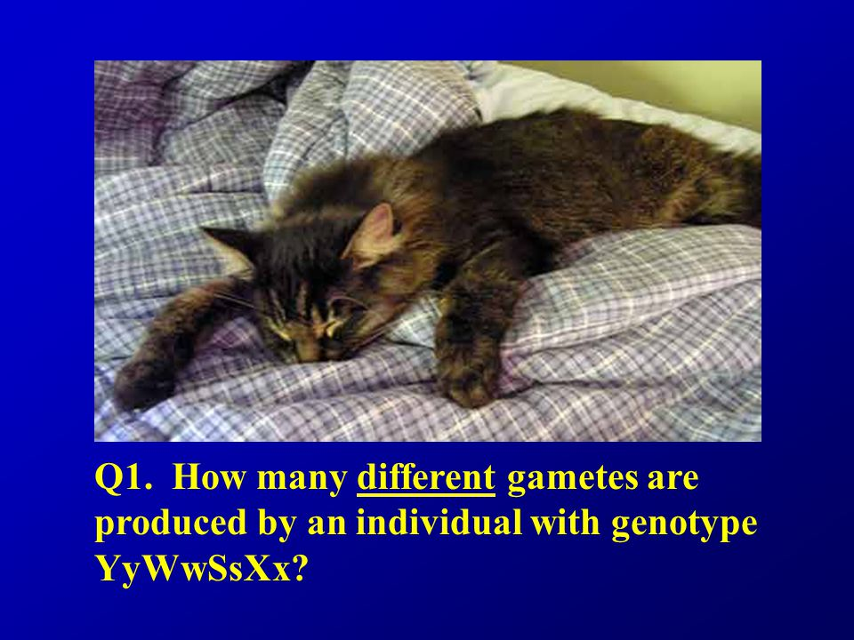 Q1. How many different gametes are produced by an individual with genotype YyWwSsXx