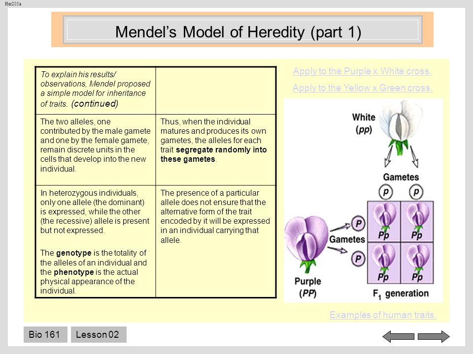 Mendel's Model of Heredity (part 1)