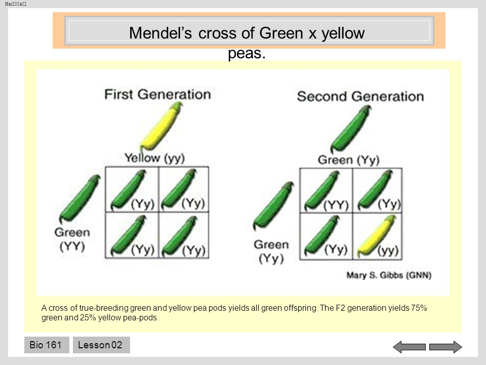 Mendel's cross of Green x yellow peas.