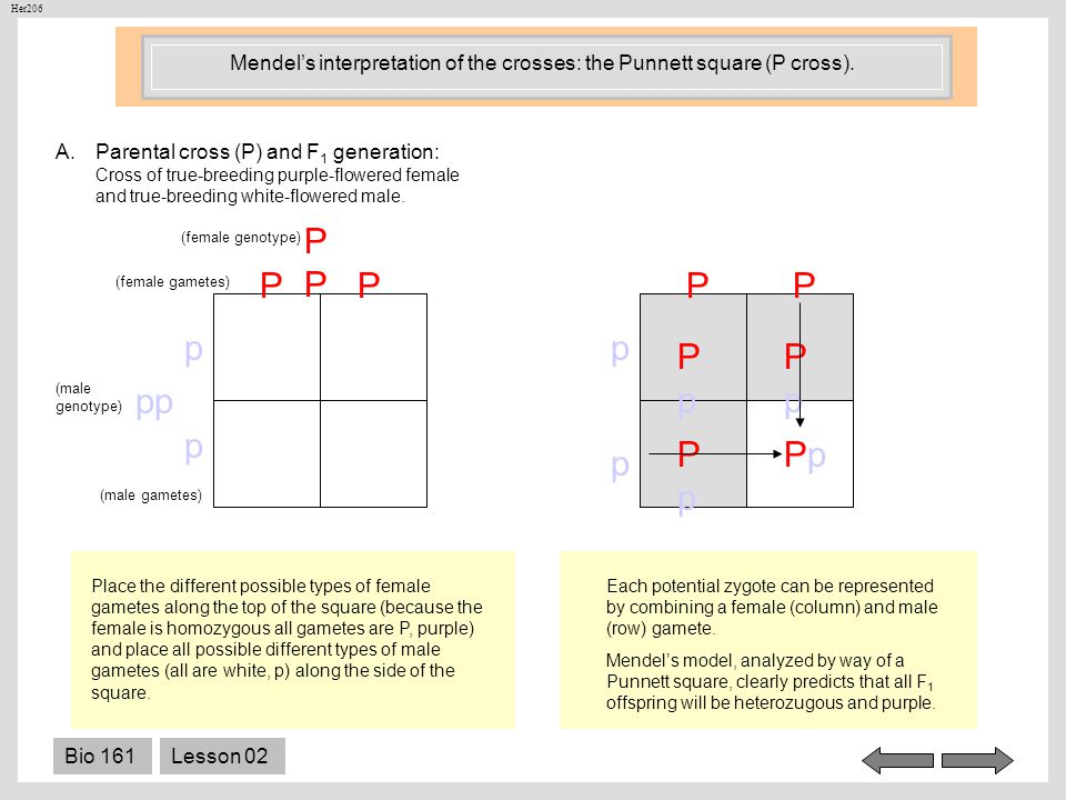 Mendel's interpretation of the crosses: the Punnett square (P cross).