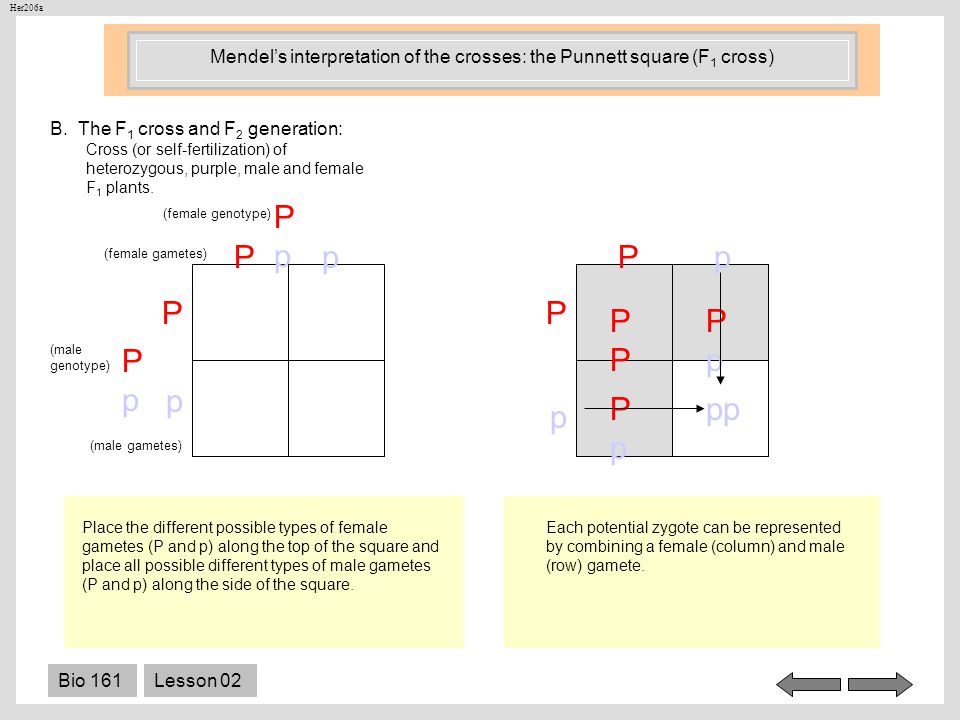 Mendel's interpretation of the crosses: the Punnett square (F1 cross)