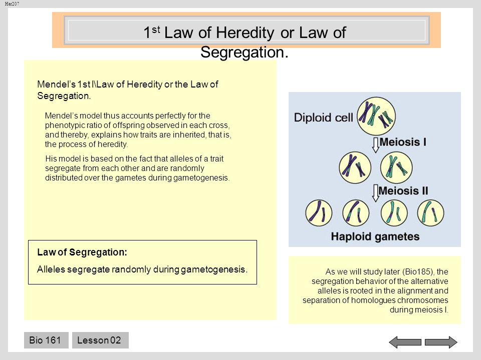 1st Law of Heredity or Law of Segregation.