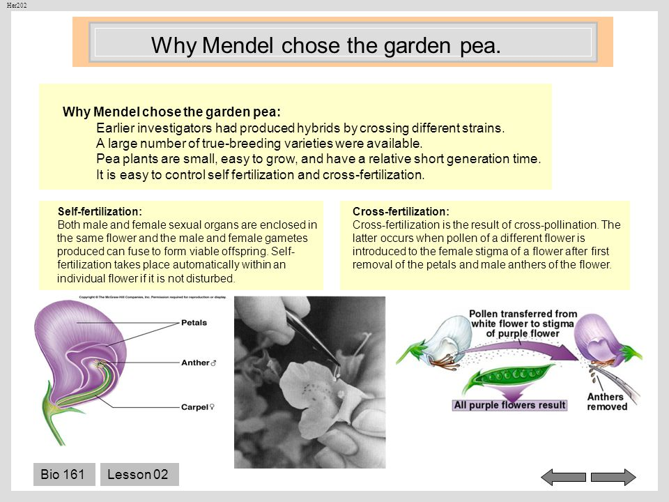Why Mendel chose the garden pea.