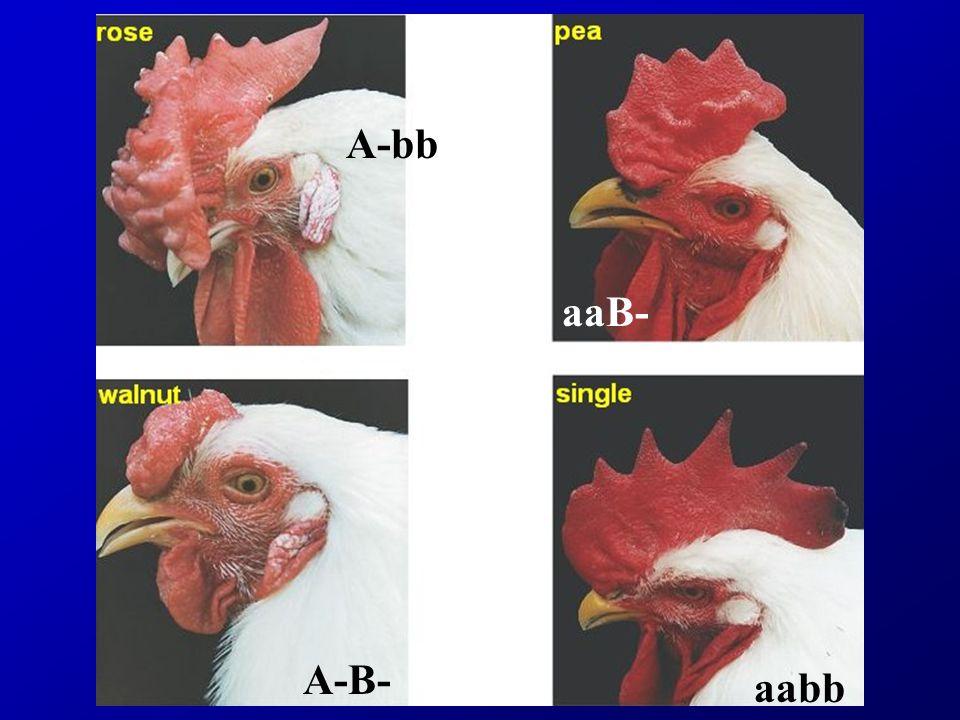 A-bb aaB- A-B- aabb