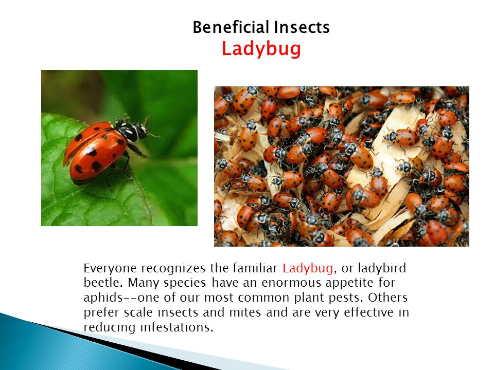 Ladybug Beneficial Insects