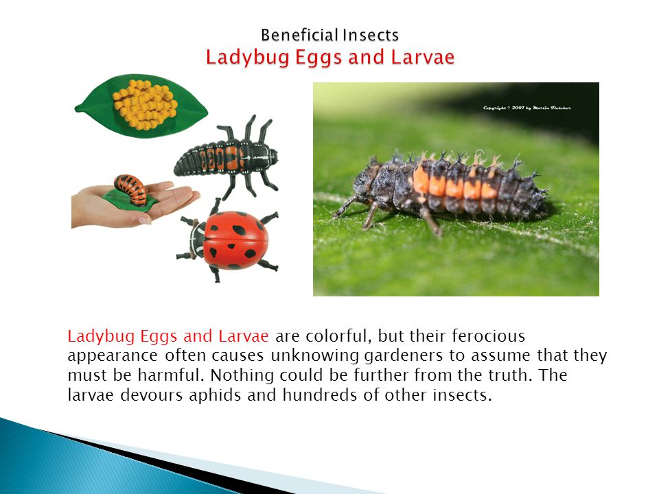 Beneficial Insects Ladybug Eggs and Larvae