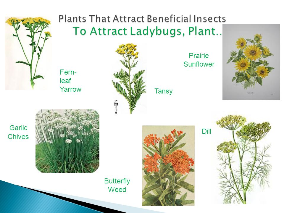 Plants That Attract Beneficial Insects To Attract Ladybugs, Plant…