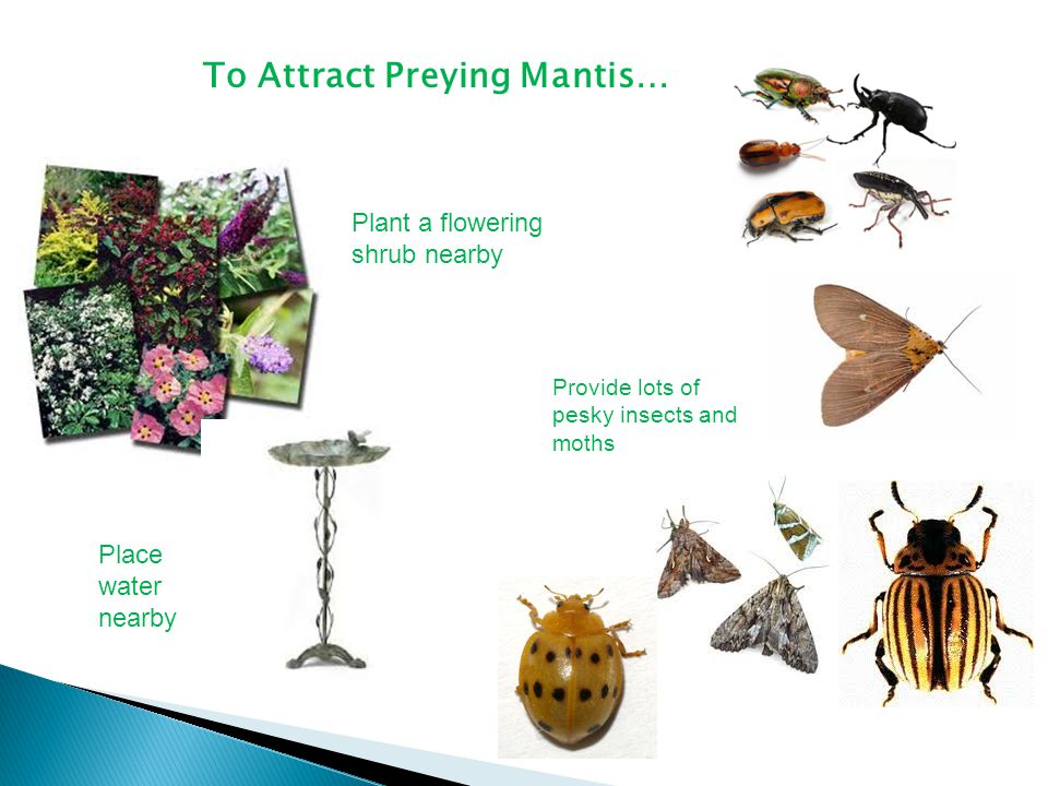 To Attract Preying Mantis…