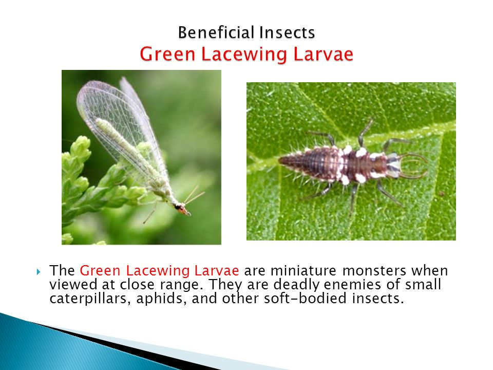 Beneficial Insects Green Lacewing Larvae