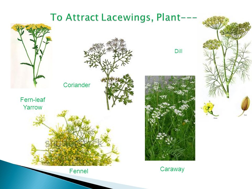 To Attract Lacewings, Plant---