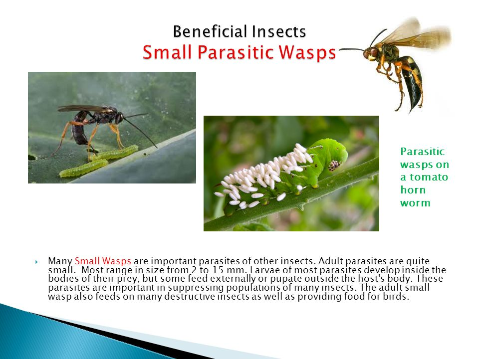 Beneficial Insects Small Parasitic Wasps