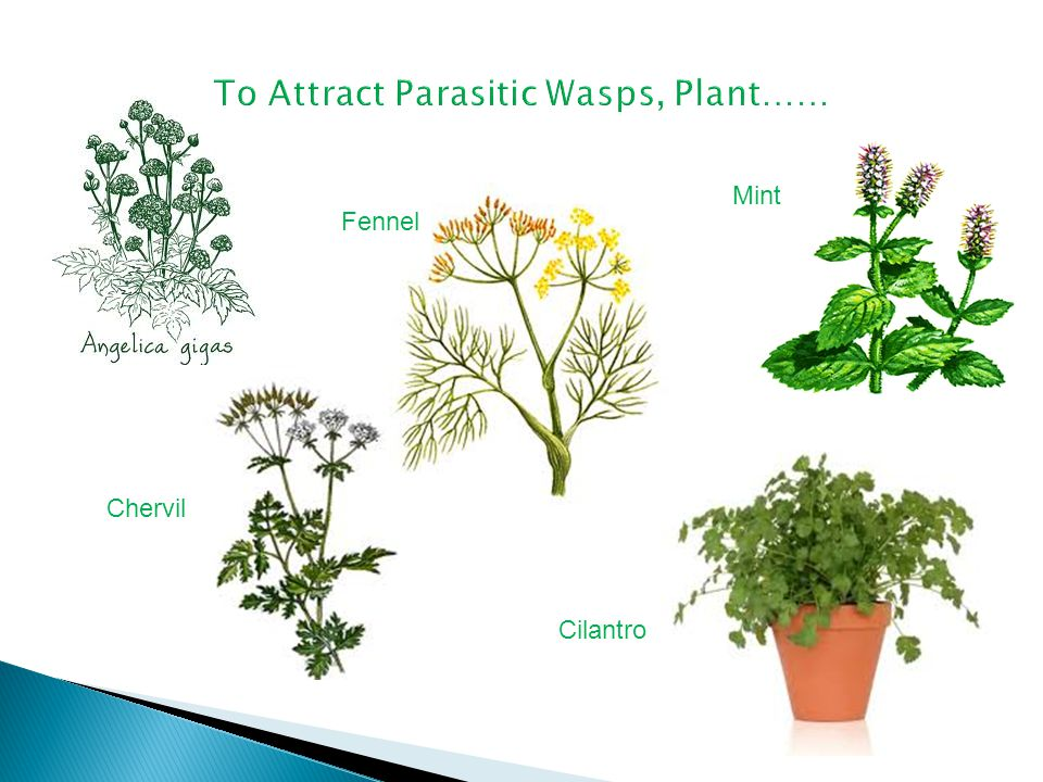 To Attract Parasitic Wasps, Plant……
