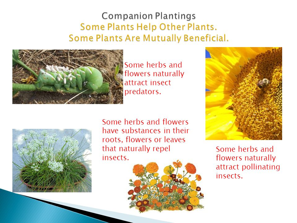 Companion Plantings Some Plants Help Other Plants