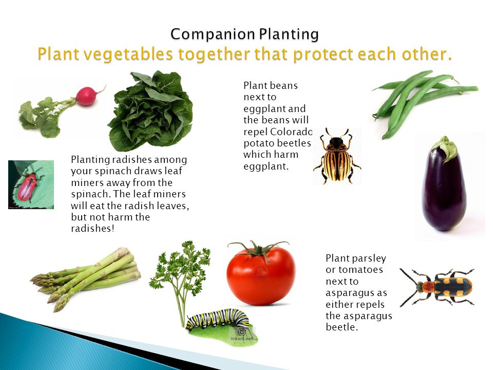 Companion Planting Plant vegetables together that protect each other.