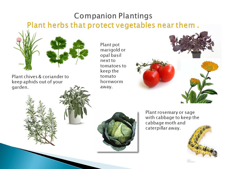 Companion Plantings Plant herbs that protect vegetables near them .