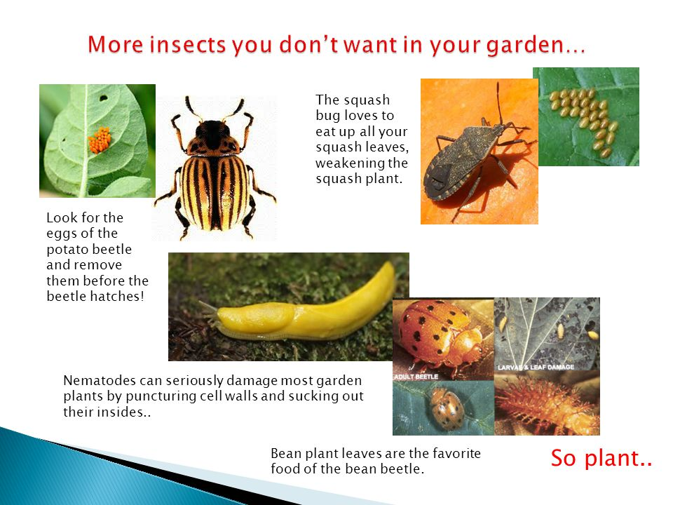 More insects you don't want in your garden…
