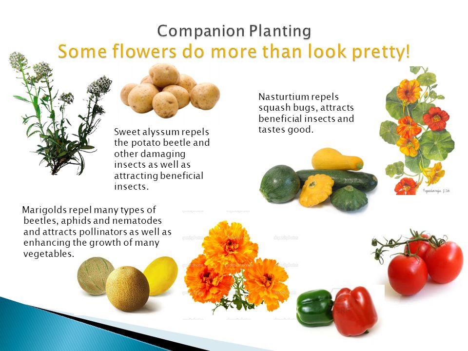 Companion Planting Some flowers do more than look pretty!