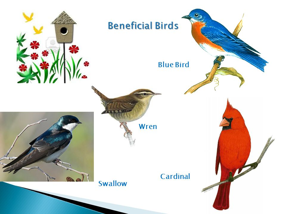 Beneficial Birds Blue Bird Wren Cardinal Swallow