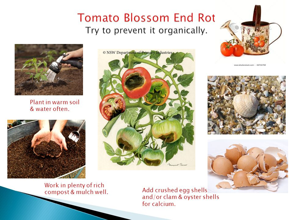 Blossom End Rot Tomato Blossom End Rot Try to prevent it organically