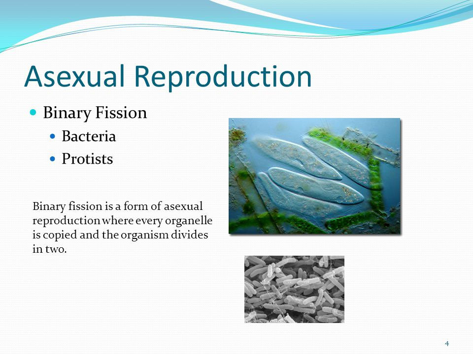 Asexual Reproduction Binary Fission Bacteria Protists