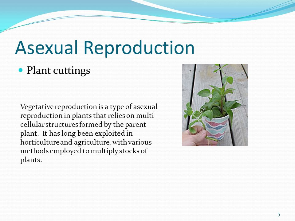 Asexual Reproduction Plant cuttings