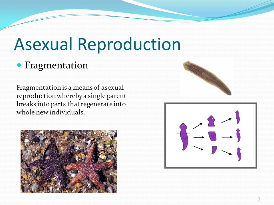 Asexual Reproduction Fragmentation