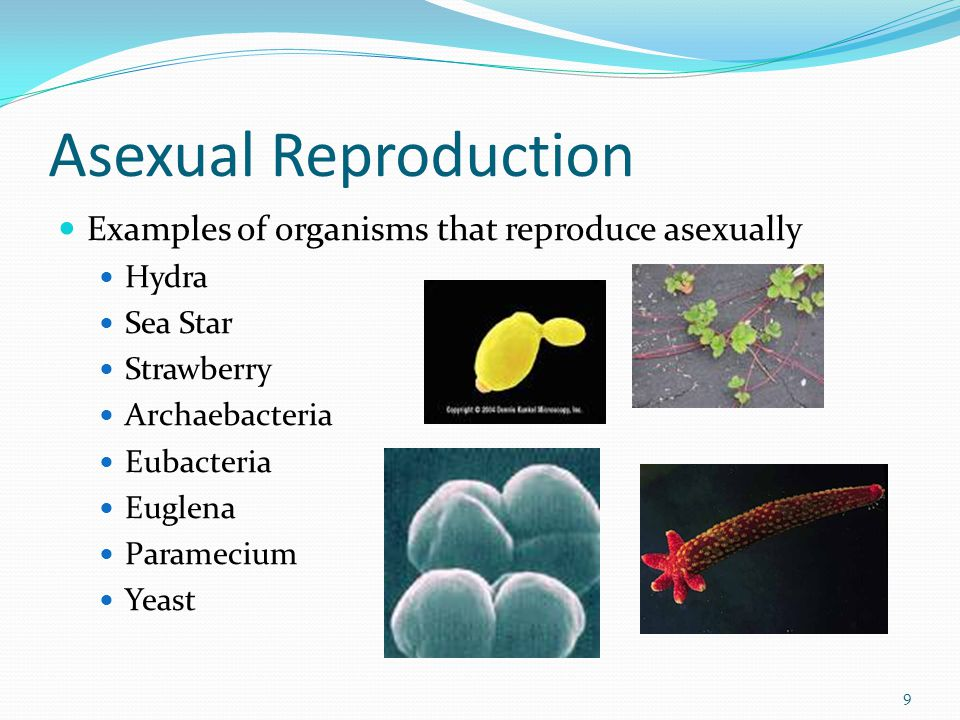 Asexual Reproduction Examples of organisms that reproduce asexually