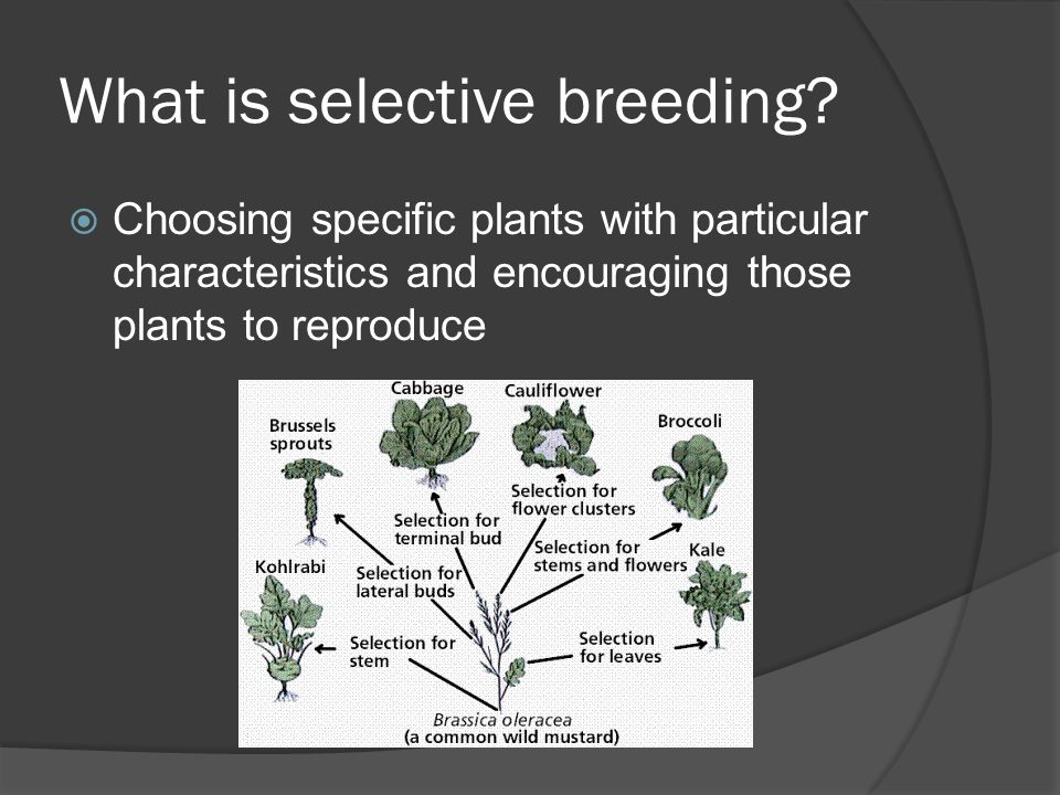 What is selective breeding