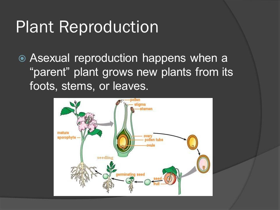 Plant Reproduction Asexual reproduction happens when a parent plant grows new plants from its foots, stems, or leaves.