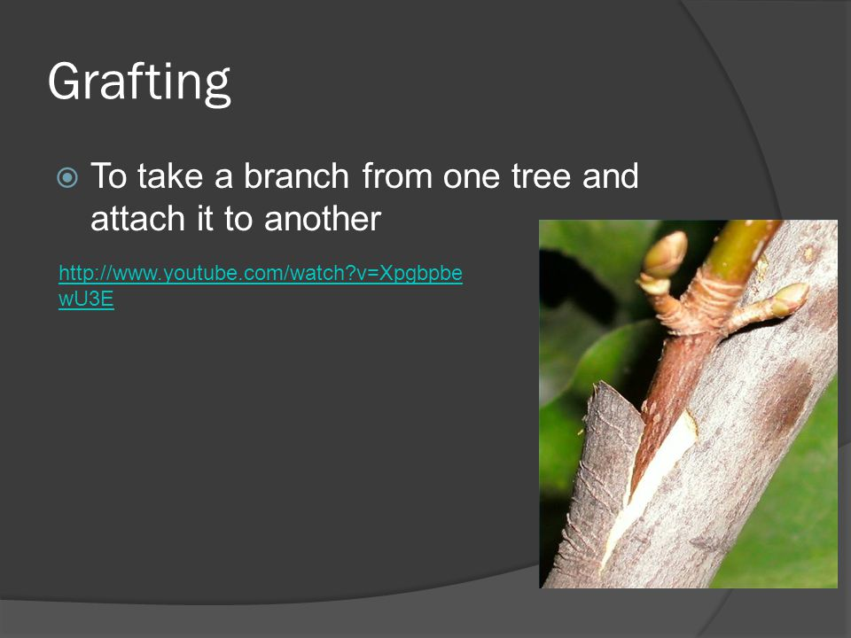 Grafting To take a branch from one tree and attach it to another