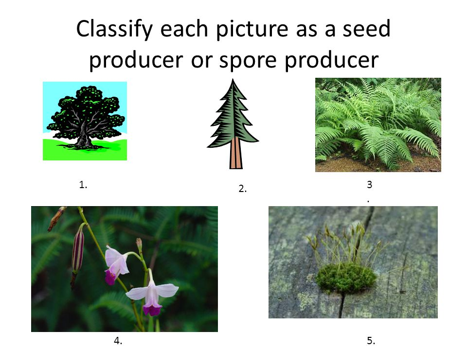 Classify each picture as a seed producer or spore producer