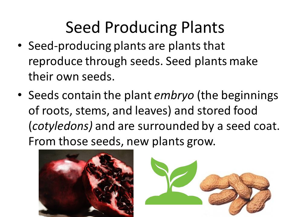 Seed Producing Plants Seed-producing plants are plants that reproduce through seeds. Seed plants make their own seeds.