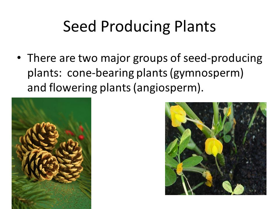 Seed Producing Plants There are two major groups of seed-producing plants: cone-bearing plants (gymnosperm) and flowering plants (angiosperm).