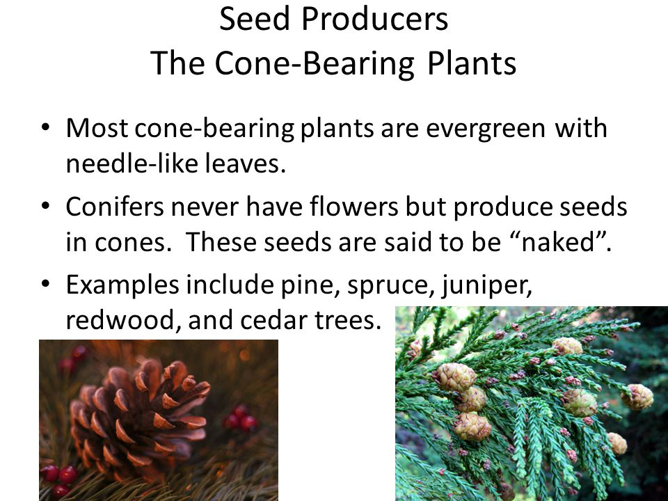 Seed Producers The Cone-Bearing Plants