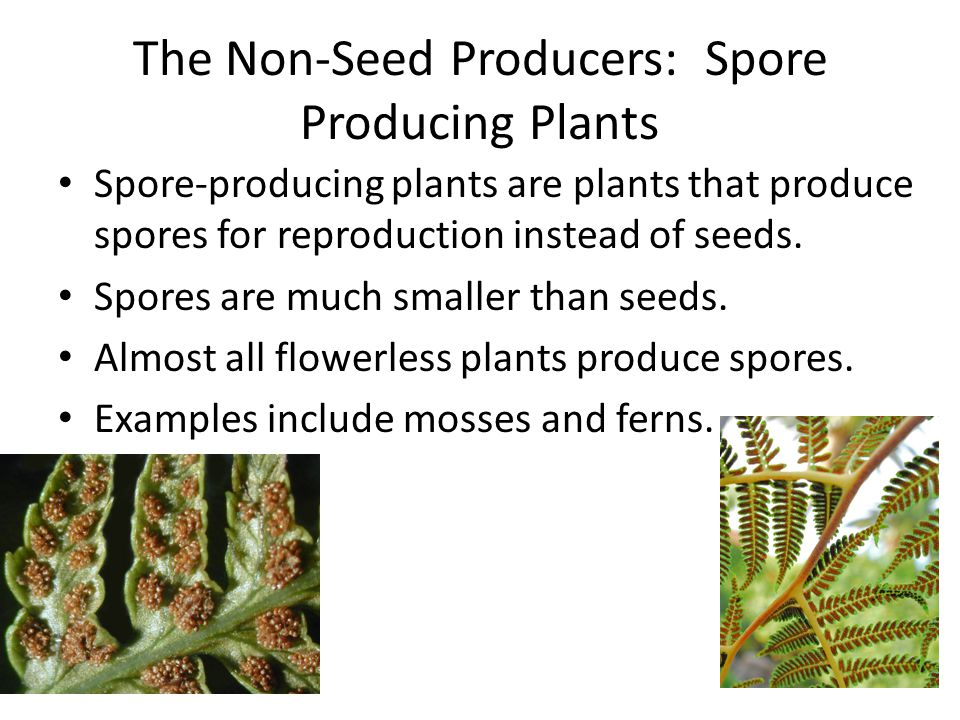 The Non-Seed Producers: Spore Producing Plants