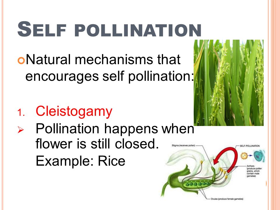 Self pollination Natural mechanisms that encourages self pollination: