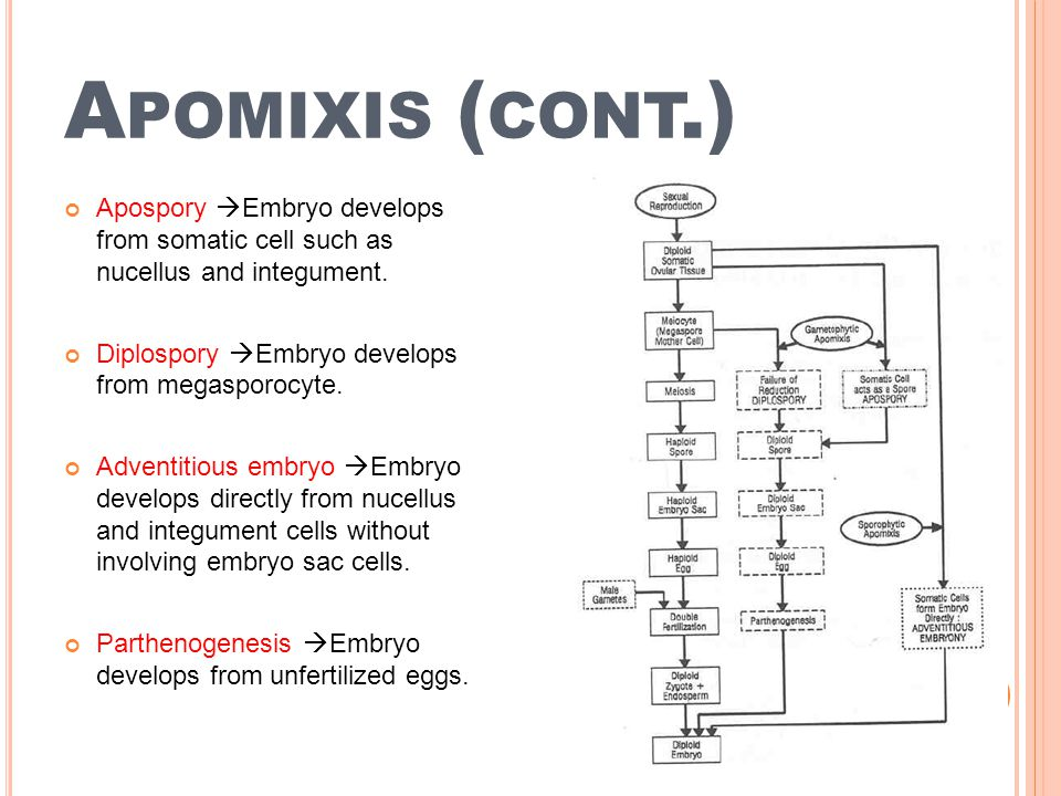 Apomixis (cont.) Apospory Embryo develops from somatic cell such as nucellus and integument. Diplospory Embryo develops from megasporocyte.