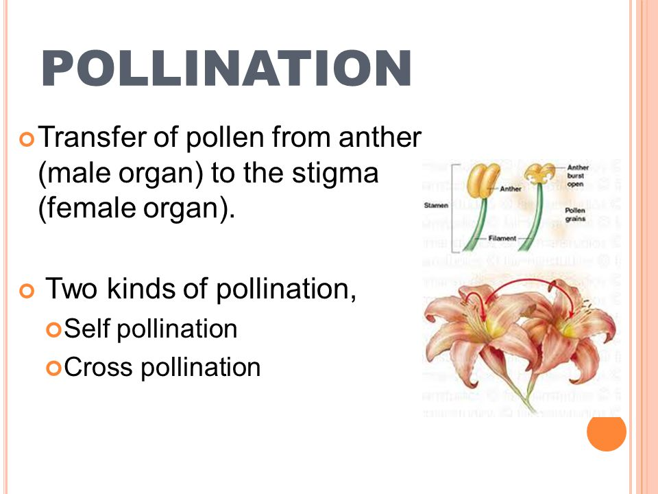 POLLINATION Transfer of pollen from anther (male organ) to the stigma (female organ). Two kinds of pollination,