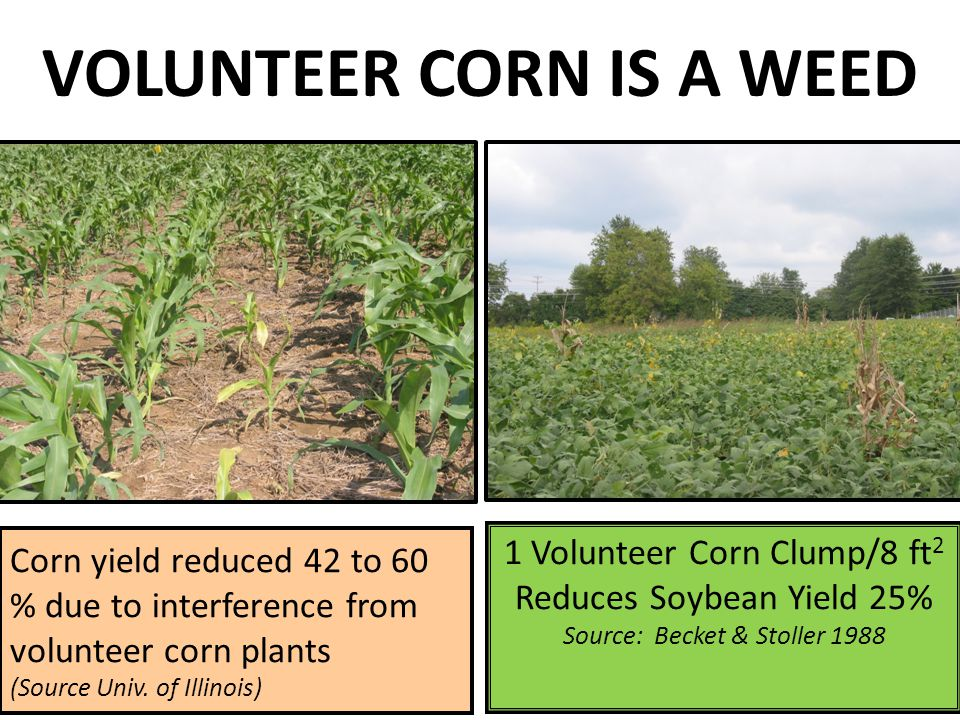 VOLUNTEER CORN IS A WEED