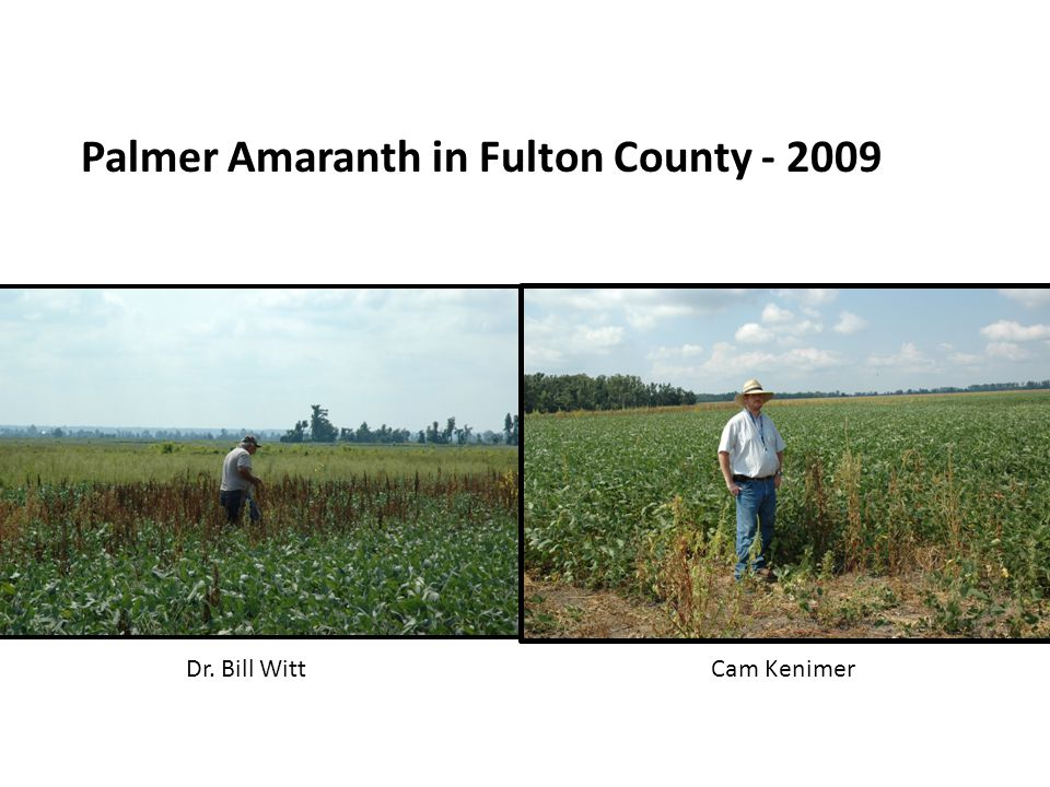 Palmer Amaranth in Fulton County