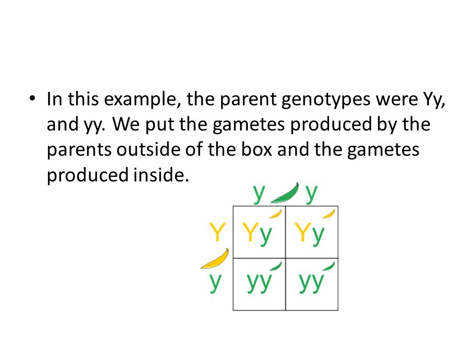 In this example, the parent genotypes were Yy, and yy