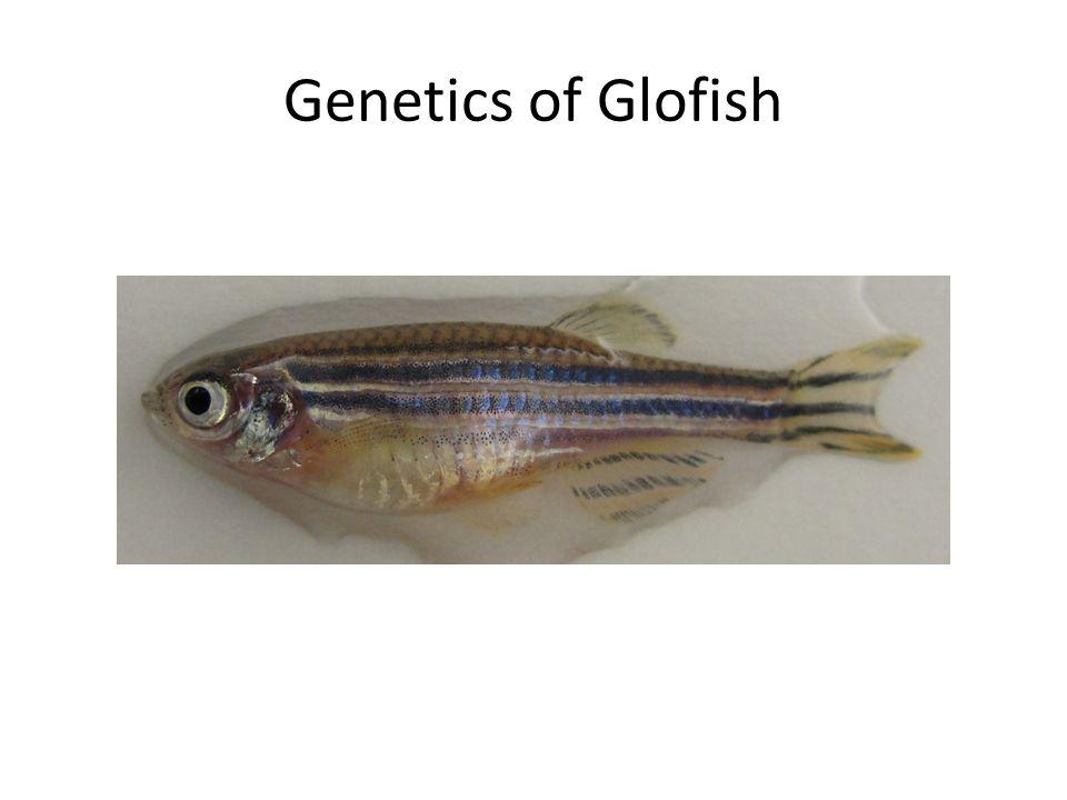 Genetics of Glofish